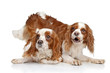 King Charles spaniel puppies