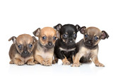 Group of Toy Terrier puppies