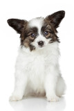 Papillon (continental toy spaniel) puppy
