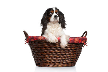 Cavalier King Charles spaniel in basket