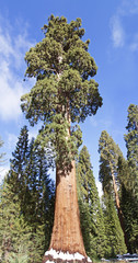 big sequoia