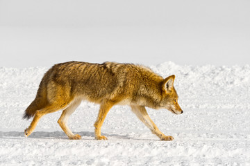 Coyote trots along a winter trail