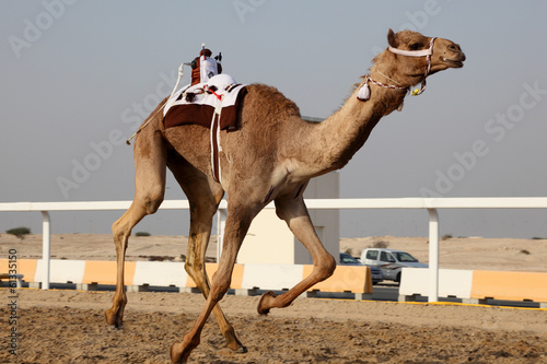 Foto op Canvas Kameel Traditional camel race in Doha, Qatar, Middle East