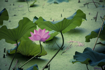 Lotus bloom in summer