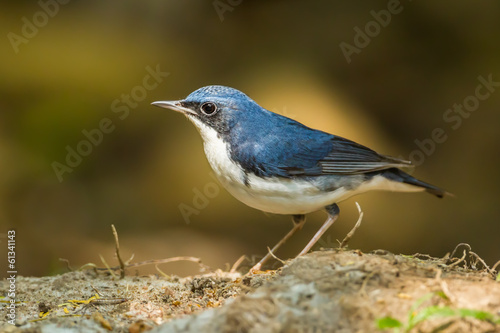 Siberian Blue Robin (Luscinia cyane)  in nature