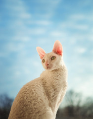 Cornish Rex cat looking left