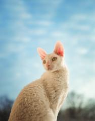 Cornish Rex cat looking left