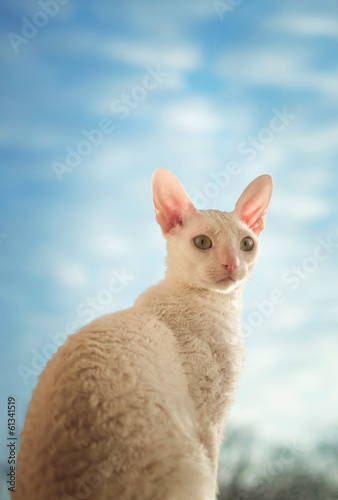 Cornish Rex cat looking right