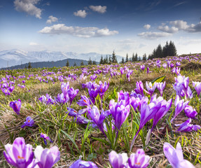Blossom of crocuses at spring in the mountains