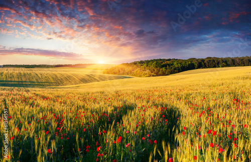 Fototapeta Colorful summer landscape on the meadow of wheat and poppies