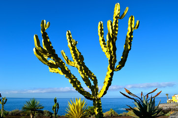 Large cactus on Tenerife