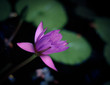 Opening Water Lily