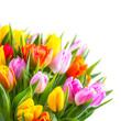 Tulpenstrauß vor weißem Hintergrund
