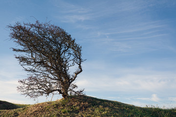 Wind bent tree on a green hill