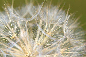 dandelion close up nature background