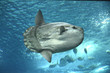 Leinwandbild Motiv Sunfish