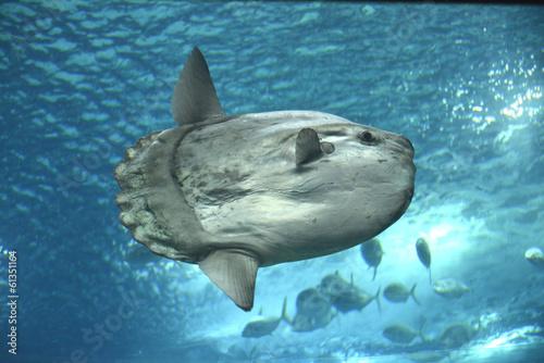 Sunfish - 61351164