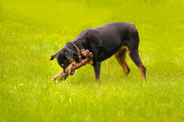 Rottweiler dog during a summer afternoon in the country