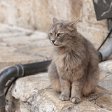 Gray cat says meow on the street in Jerusalem poster