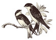 love birds - two swallows on a branch