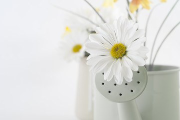 Spring Flower in Watering Can