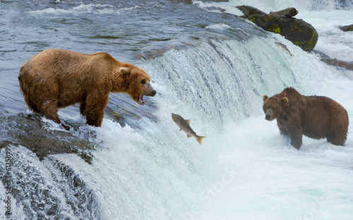 Plexiglas Dragen A brown grizzly bear hunting salmon at the river, Alaska, Katmai