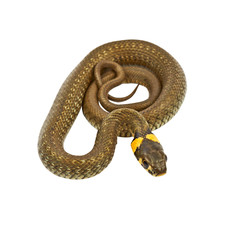 Young water snake (Natrix) isolated on white background