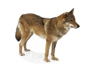 Wolf isolated on white background