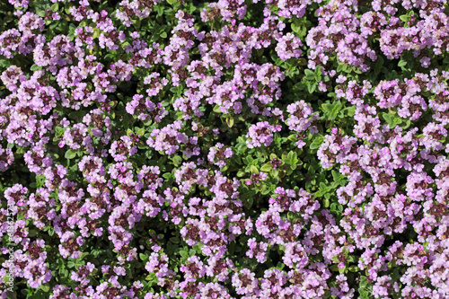 Thymus serpyllum, floral background