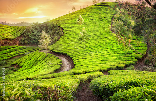 Papiers peints Inde Tea plantations in India