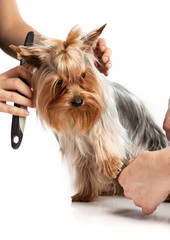 Grooming Yorkshire Terrier with a comb