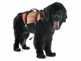 rescue newfoundland dog