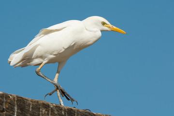 Cattle Egret walking on a wharf