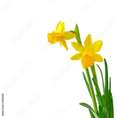 Spring flower narcissus isolated on white background.