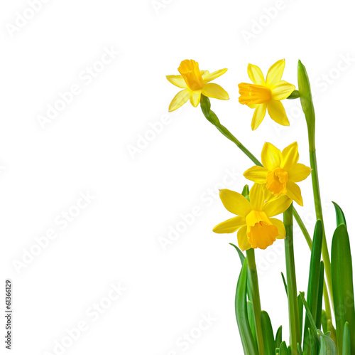 Foto op Canvas Narcis Spring flower narcissus isolated on white background.