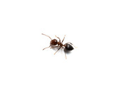 Ant isolated on white background