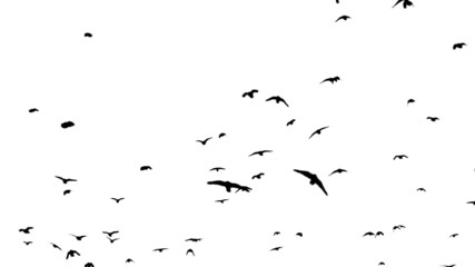 A flock of crows flying over head