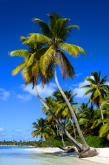 Exotic  palms on sandy Caribbean beach in Dominicana
