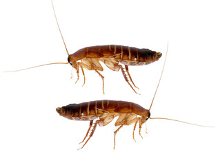 redhead cockroach on white background. macro
