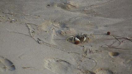 Walking beach sandy crab (Ocypode)