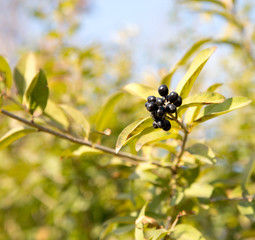 Deep blue and glossy berries on a shrub