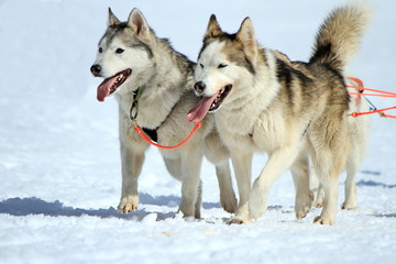 A husky sled dog team at work