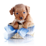 Puppy in a wattled basket with a blue bow.