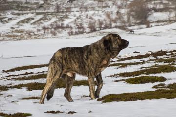 Perro Mastin en la Nieve