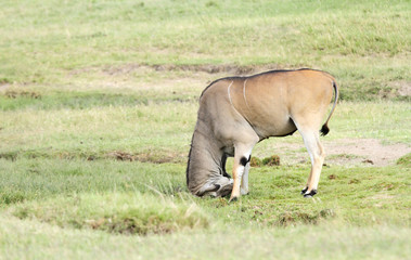 A beautiful Giant Eland antelope hitting the mud mound
