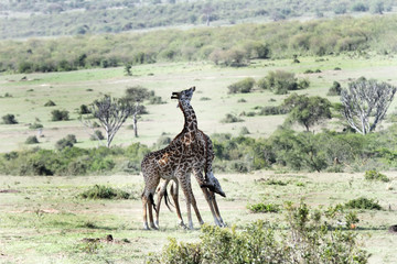 Two tall Giraffe necking