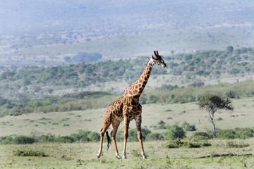 A beautiful Giraffes and its habitat