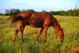 Chestnut horses graze on the meadow