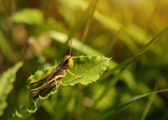 Macro photo of a grasshopper in summer