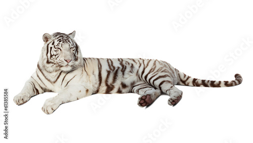 lying white tiger. Isolated  over white
